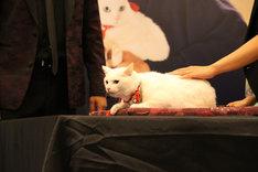 「猫侍 南の島へ行く」台湾プレミアイベントに登場した現地の白猫シャドウちゃん。(c)2015「続・猫侍」製作委員会