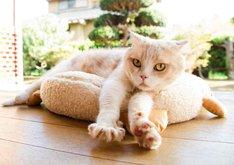 「ねこあつめの家」より、猫のシナモン。