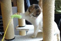 猫じゃらし風のおもちゃに反応するドロップ。