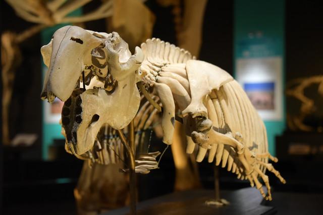 「大哺乳類展2 - みんなの生き残り作戦」より、ジュゴンの骨格模型。