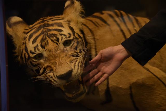 「大哺乳類展2 - みんなの生き残り作戦」には、トラの剥製に触れることができるコーナーも。
