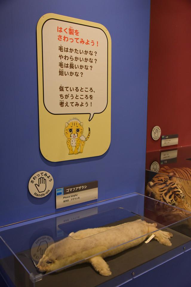 「大哺乳類展2 - みんなの生き残り作戦」より、剥製に触れることができるコーナー。