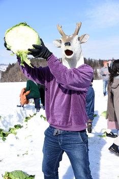 雪下キャベツ掘りを体験する鹿(バンビーノ藤田)。