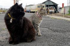 ひたちなか海浜鉄道那珂湊駅のアイドル、駅猫のおさむ(左)とミニさむ(右)。(提供:ひたちなか海浜鉄道)